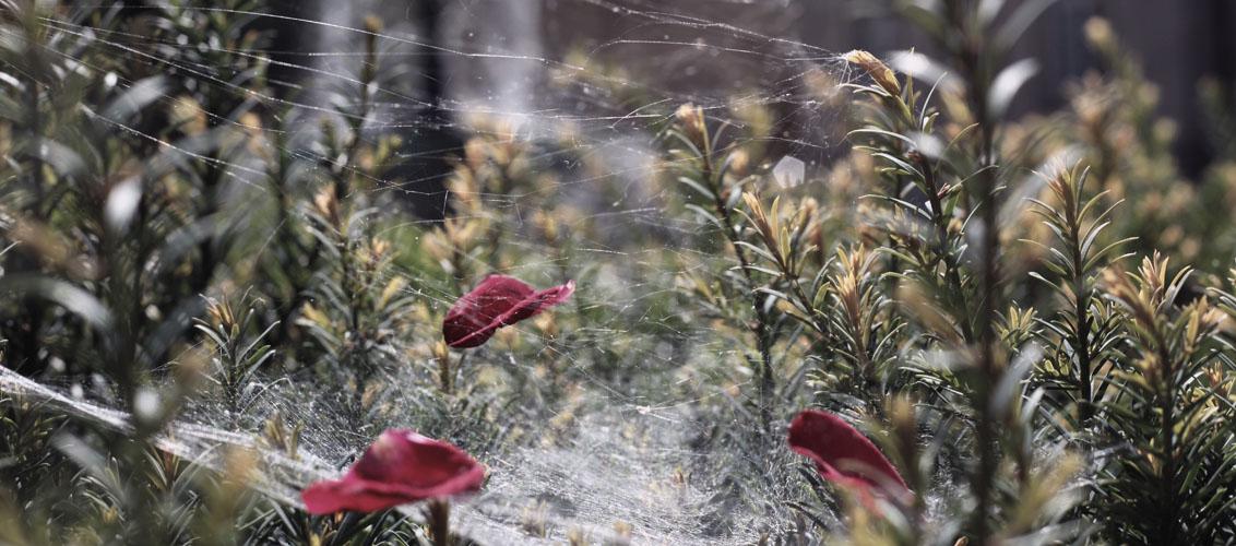 Spinnennetz mit Blüten vor der neuen Aula